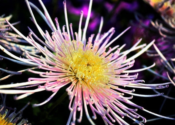 Chrysanthemum Photo: Amit Paul