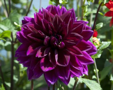 Dahlia Photo: Eden Brothers