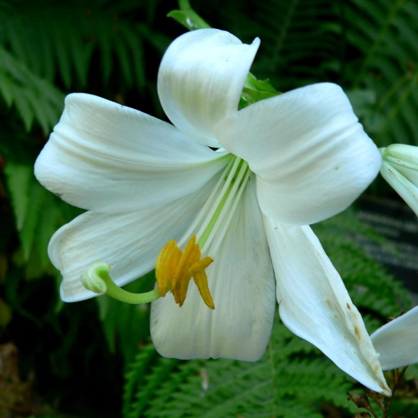 Madonna Lily Photo: Stan Shebs, VanDusen Botanical Garden