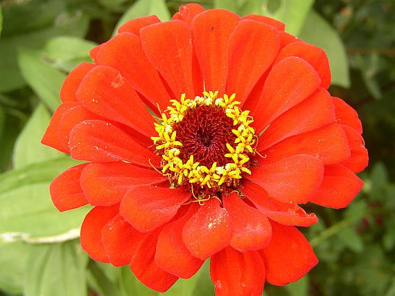 Zinnia Photo: Botany.cz