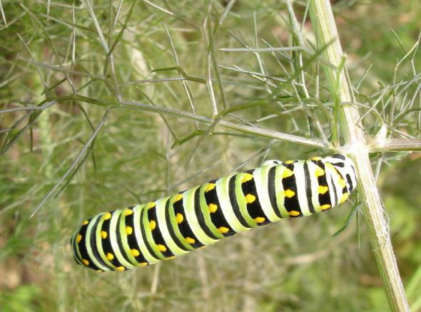 Swallowtail caterpillar on bronze fennel   Photo: Susan Albert