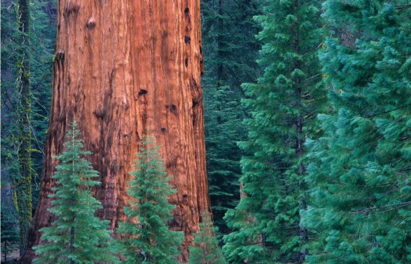 Giant-Sequoia.png
